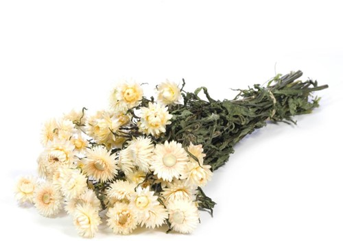 Helichrysum White Wit natural bundel. droogbloemen
