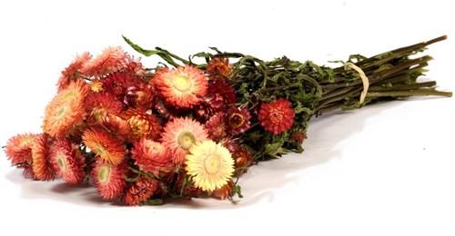 Helichrysum Zalm Salmon natural bundel. droogbloemen
