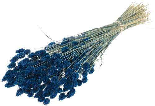 Phalaris Dark Blue Phalaris Dark Blue