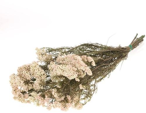 Rice flower preserved natural white  Gepreserveerd onmisbaar in droogboeketten