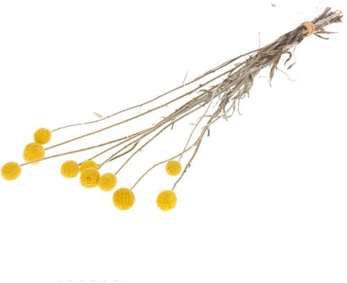 Craspedia Trommelstokjes preserved 10pc natural yellow   Geconserveerde droogbloemen