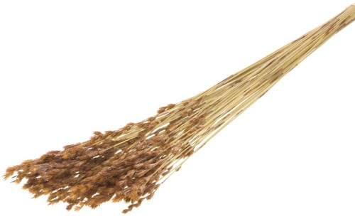 Thatch reed natural  mooie graspluimen