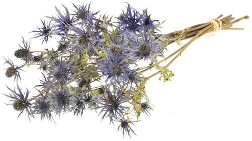 Eryngium 'blue star' natural blue  mooie distelbloemen