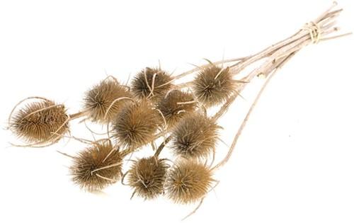 Kaardenbol Chardon 55cm Naturel droogbloemen distels