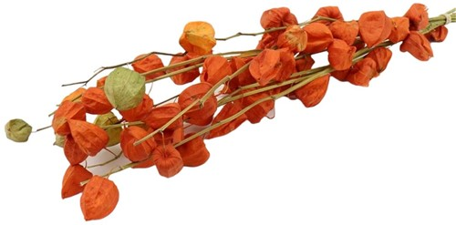 Physalis Lampionnetjes bundel droogbloemen bundel