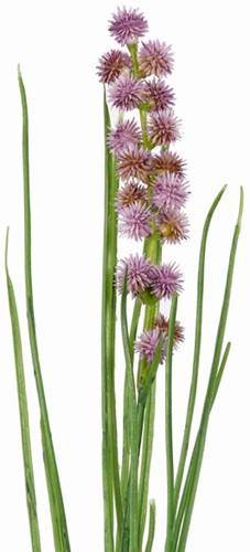 Grasbundel Purple bloeiend 50 cm/bundel Zijdebloem