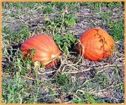 Atlantic Giant Orange Strain - basiseenheid Atlantic Giant Orange Str