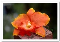 Oranje Orchidee zijdebloem kunstbloem, kunstorch Oranje Orchididee