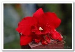 Rode Orchidee zijdebloem kunstbloem Rode Orchidee