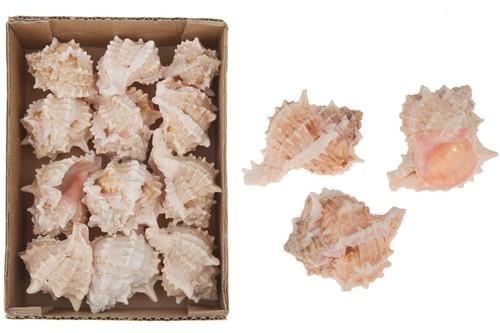 Pink Murex schelpen bicolor, 495 gram