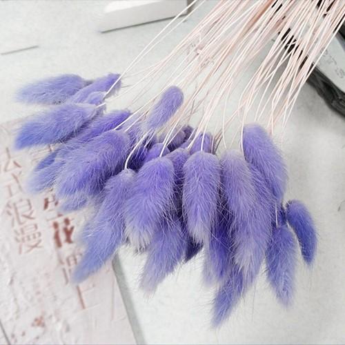Lagurus Ovatus bundel +/- 30st LilaPurple Pluimgras graspluimen
