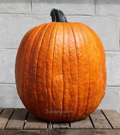 Big Doris Halloween F1 Zware halloweenpompoen