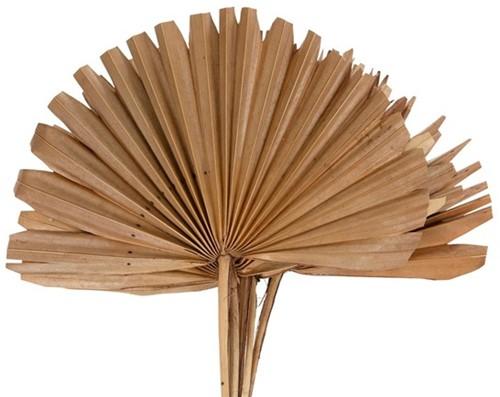 Sun spear 6pc 37x56cm - Natural Palmspear Groot blad
