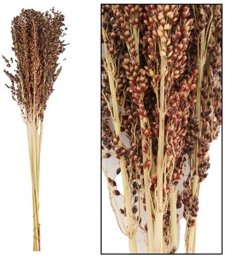 Panicum siergras 8st 65 cm droogbloemen