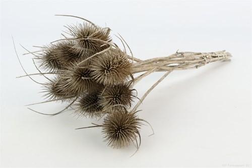 Kaardenbol Dipsacus L40-50 naturel bundel droogbloemen