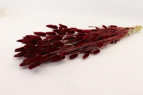 Lagurus Ovatus 100 gr in hoes Bordeaux Pluimgras graspluimen