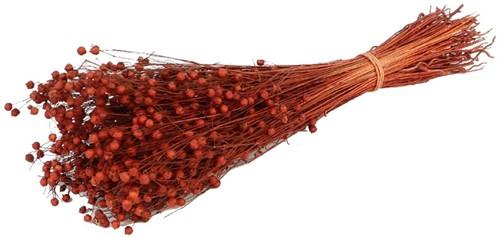 Alsi Grass Coral Bordeaux Bundel 100 gr +/- 60cm droogbloemen