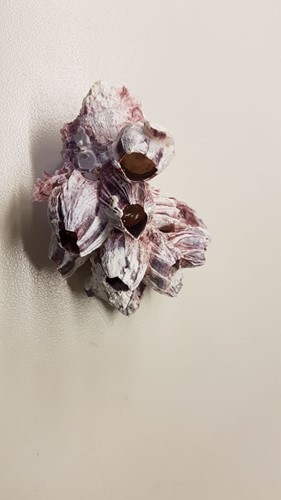 Barnacle broken - zeepok 7-12 cm. per stuk