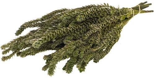 Gepreserveerd Buxifolia mini preserved natural green  Geprepareerd groen