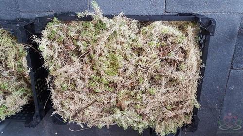 Kratje Spaghnum Spaghnum voor hydrocultuur, bloemschikken en stekjes opkweken