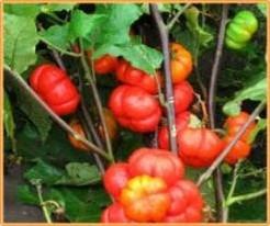 Solanum Aethiopicum Orange Prince Solanum Aeth Or