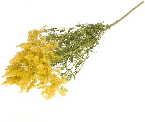 Solidago flower natural yellow  mooie gedroogde bloemen
