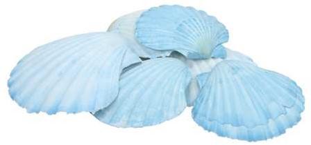 Schelp Fan Chippy Giant - Jacobsschelp blauw, 6 stuks